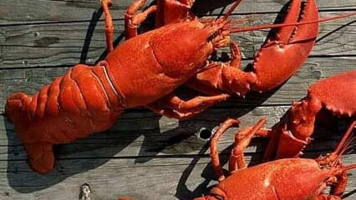 Buy Live 1 1/2 lb lobster Online