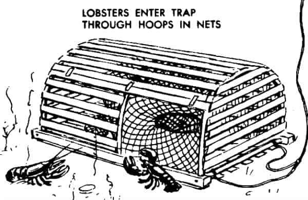 Trap Maine Lobster