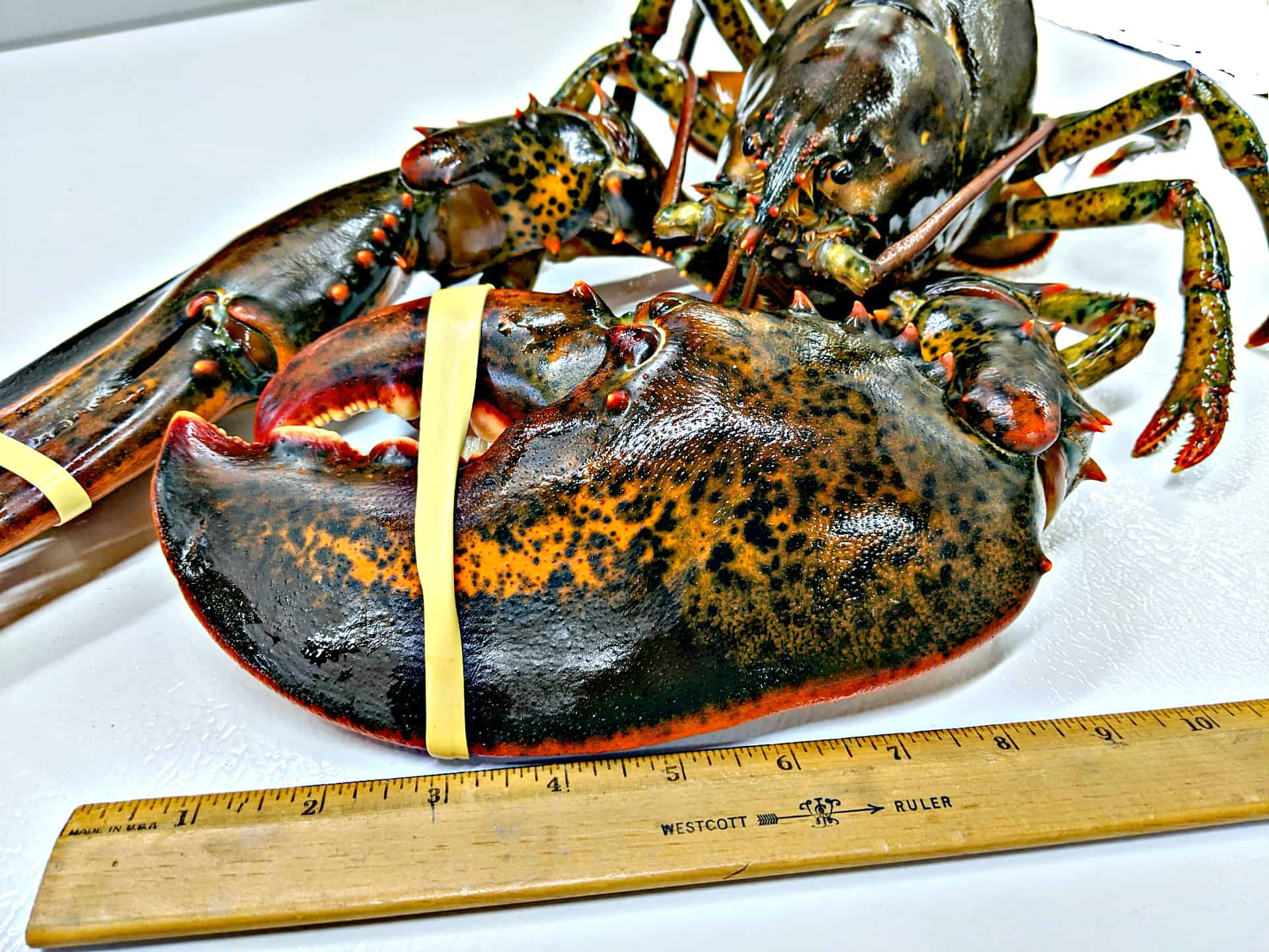 Huge Lobster Claw