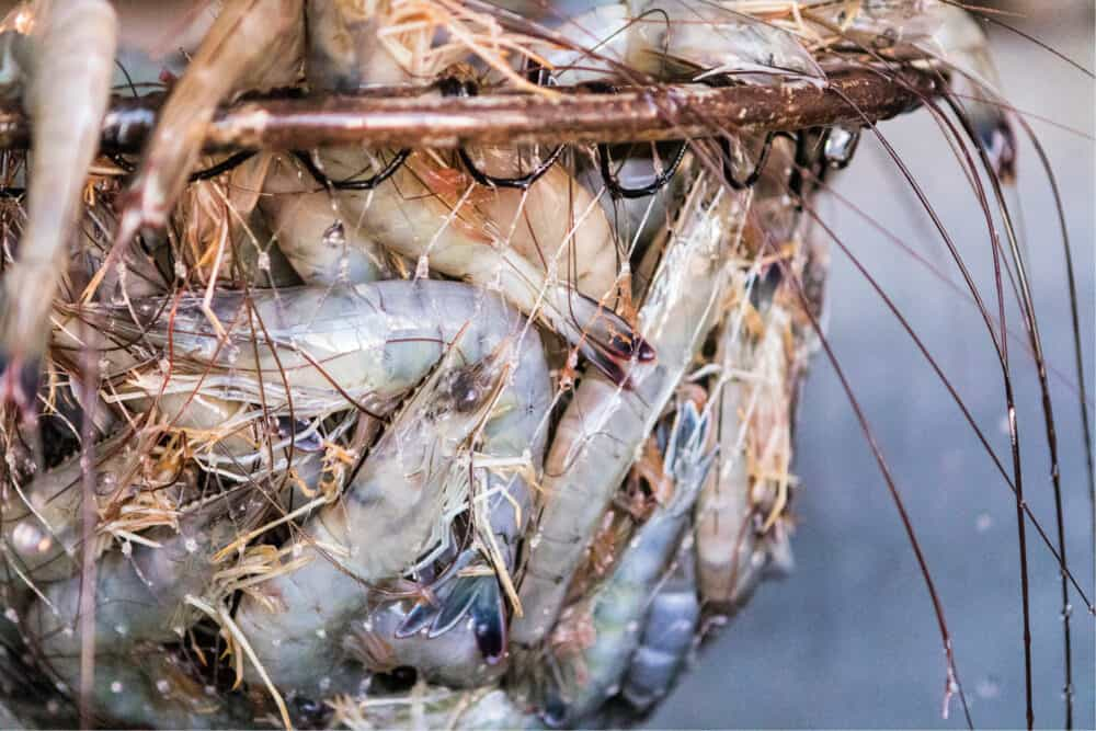 Sustainable Shrimp
