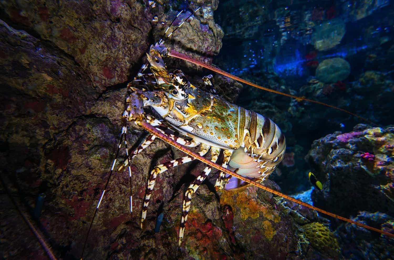 rock lobster flavor and origin